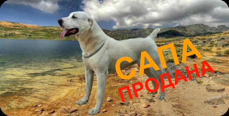 Подрощенный щенок алабая Миф Марны Сапа продана