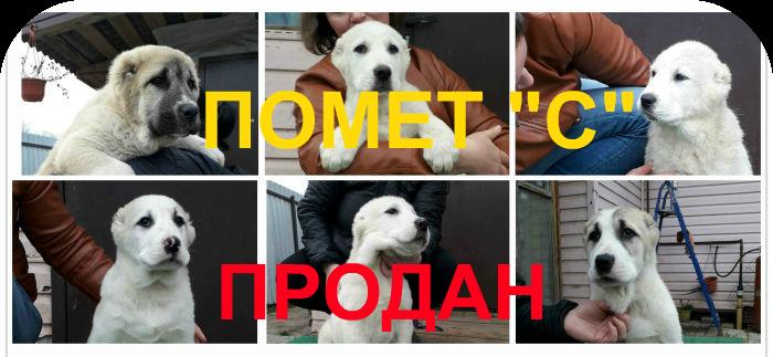 Помет щенков алабая С от 21.08.2019 продан