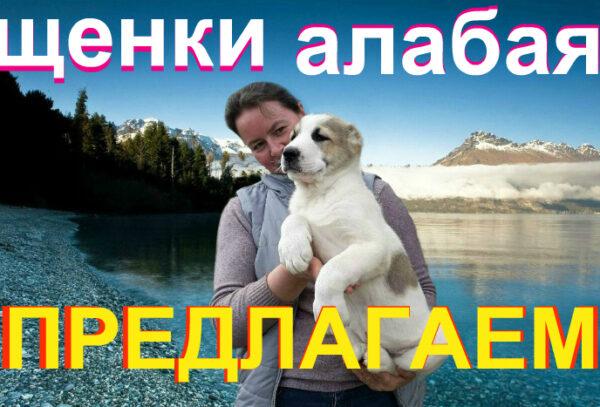 Выбрать алабая, купить щенка алабая