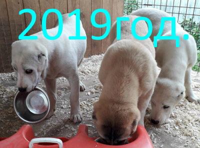 Питомник Миф Марны щенки алабая 2019