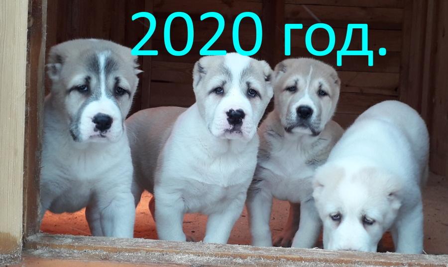 Питомник Миф Марны щенки алабая 2020