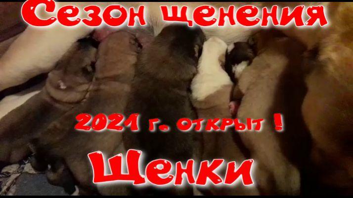 Новый помёт щенков в питомнике Миф Марны 03 04 2021 Сезон 2