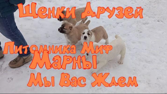 Щенки Алабая-друзей-питомника-Миф-Марны